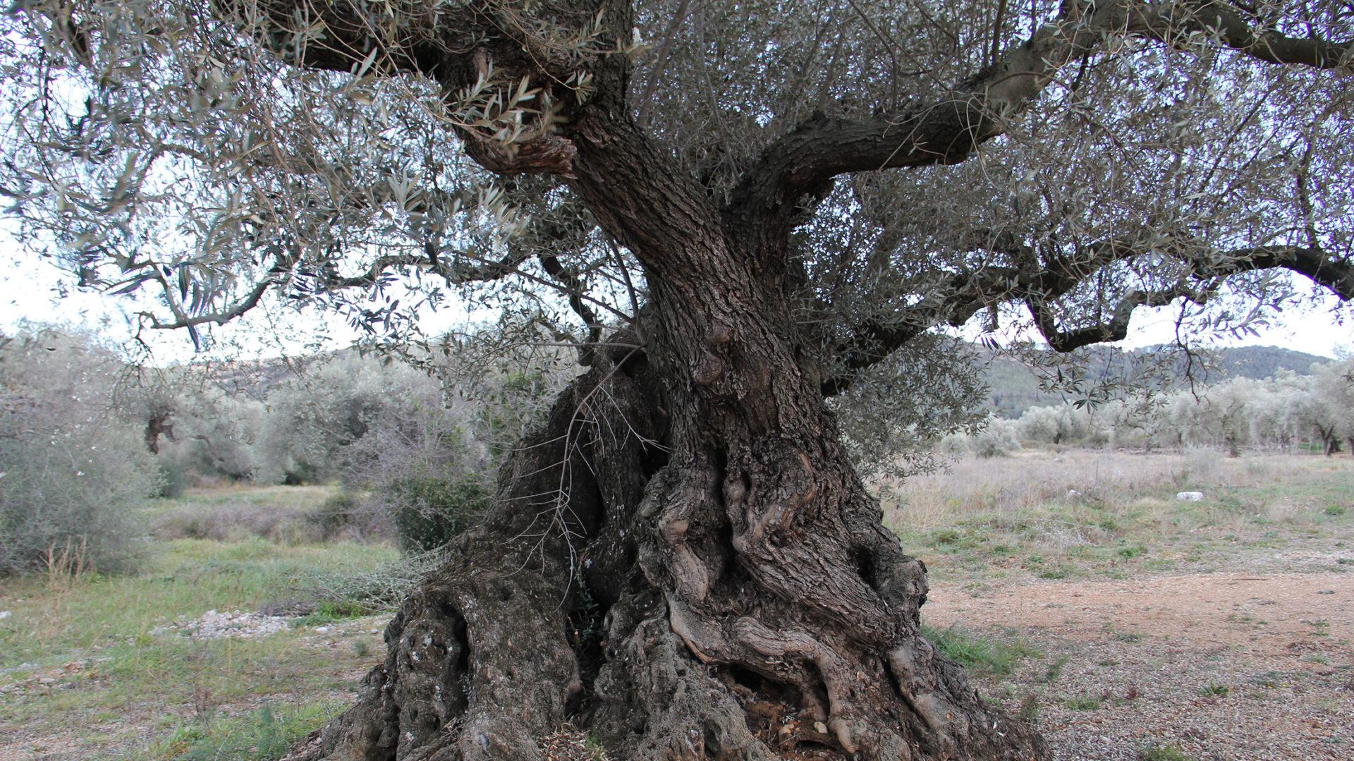 cropped-olivo-fondo-2.jpg